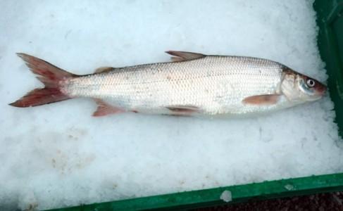 whitefish-24-LaPorte-hr-600x369