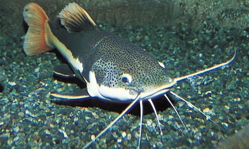 Montana Catfish Fishing Trip