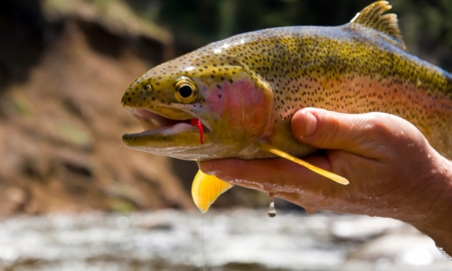Montana Rainbow Trout Fishing in the Spring
