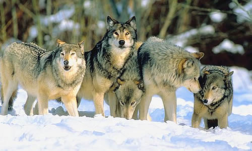 wolf_group