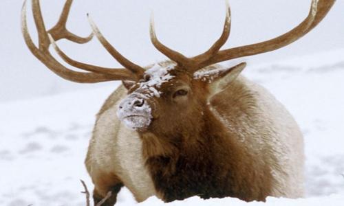 Elk Hunting Season in Montana