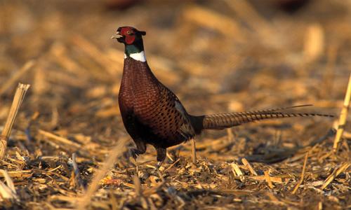 Pheasant hunting trip in Montana