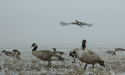 Water Fowl Hunting in Montana