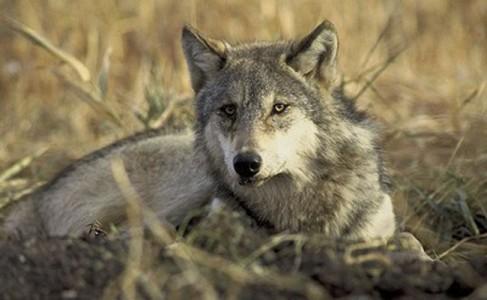 montana wolf hunt