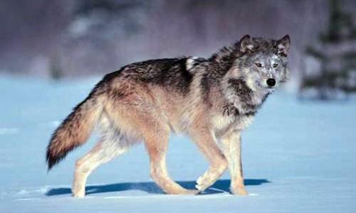 montana wolf harvest
