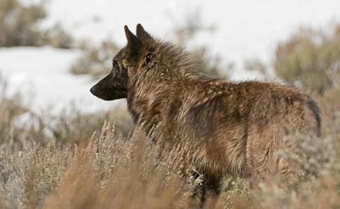 wolf brown