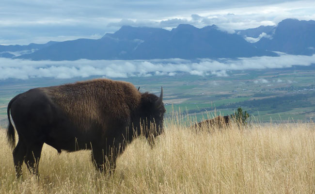 Montana fish wildlife parks moose sheep goat autos post for Fish wildlife and parks