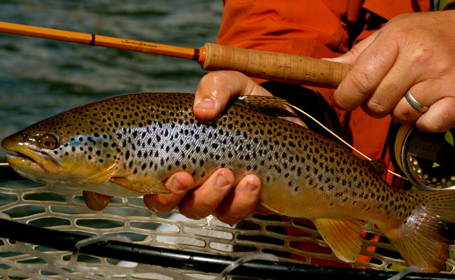 Good streamer action on the yellowstone river and more in for Montana fish company