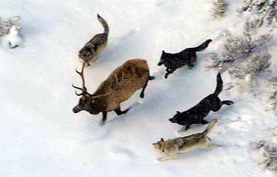wolf-elk
