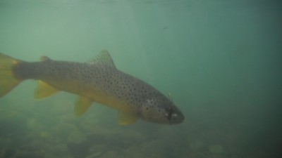 Decent fishing in the blackfoot river report provided by for Montana fish company