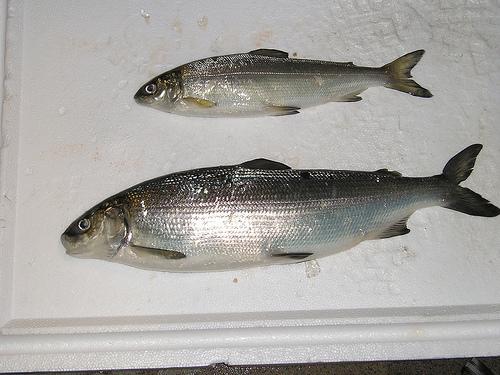 Jim vashro reports on flathead whitefish montana hunting for Whitefish montana fishing