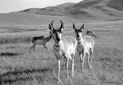BW-Antelope1