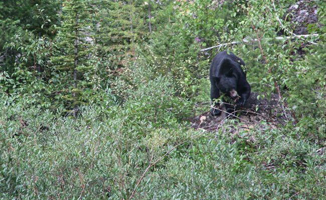 man attacked by black bear in the bob marshall wilderness