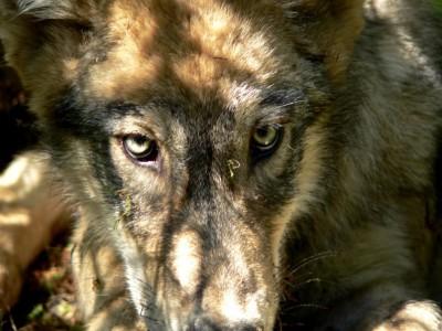montanawolfjpg-4285f2ad2a6e1383