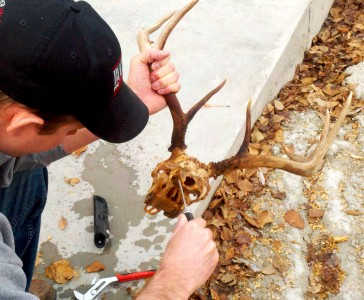 Do it yourself european mount montana hunting and fishing 1 skin the deer skull solutioingenieria Image collections