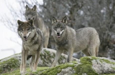 wolves_jpg_475x310_q85