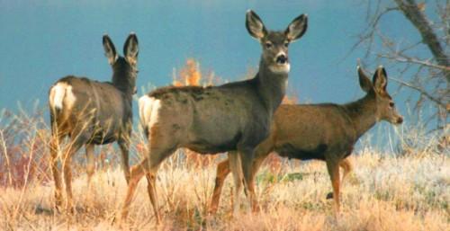 good_mule_deer
