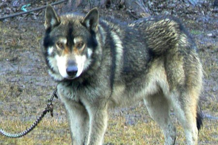 Wolves And Wolf Hybrids Do Not Make Good Pets According To Usfws