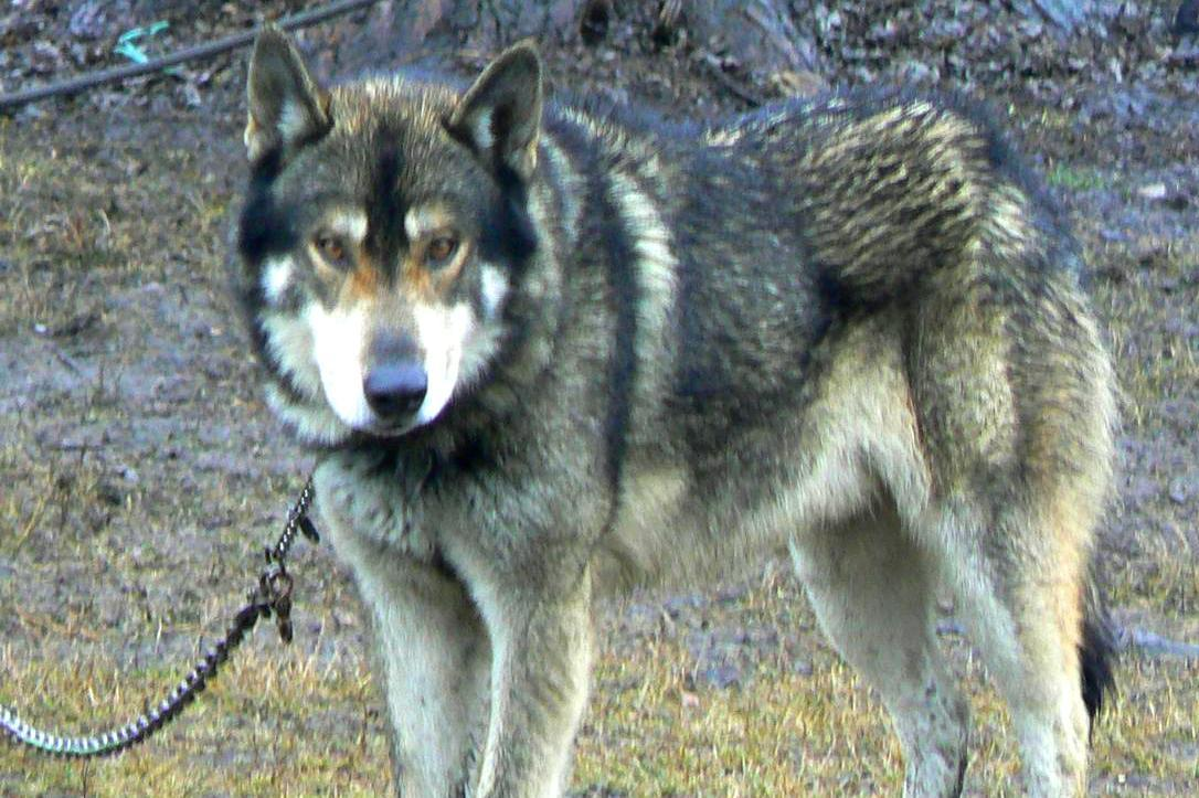 Wolves And Wolf Hybrids Do Not Make Good Pets According To