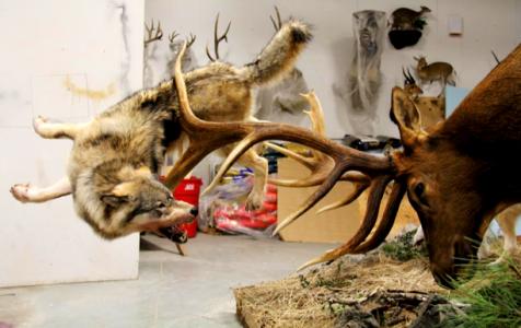 Bull Elk Fending Off Wolves In Really Cool Mount By Angelamontana
