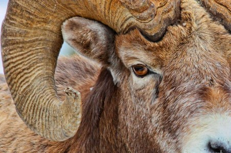 bighorn-sheep-ram-christopher-kolaczan