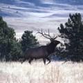 sf268_Bull_Elk