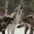 wolf-pack-howling-med