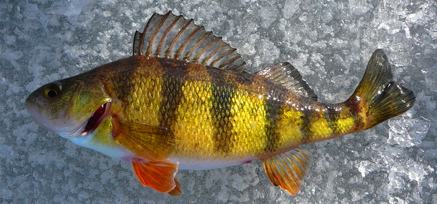Perch assault moved to lake mary ronan montana hunting for Ice fishing perch