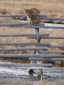 lion last