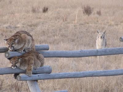 mountain lion cubs 1