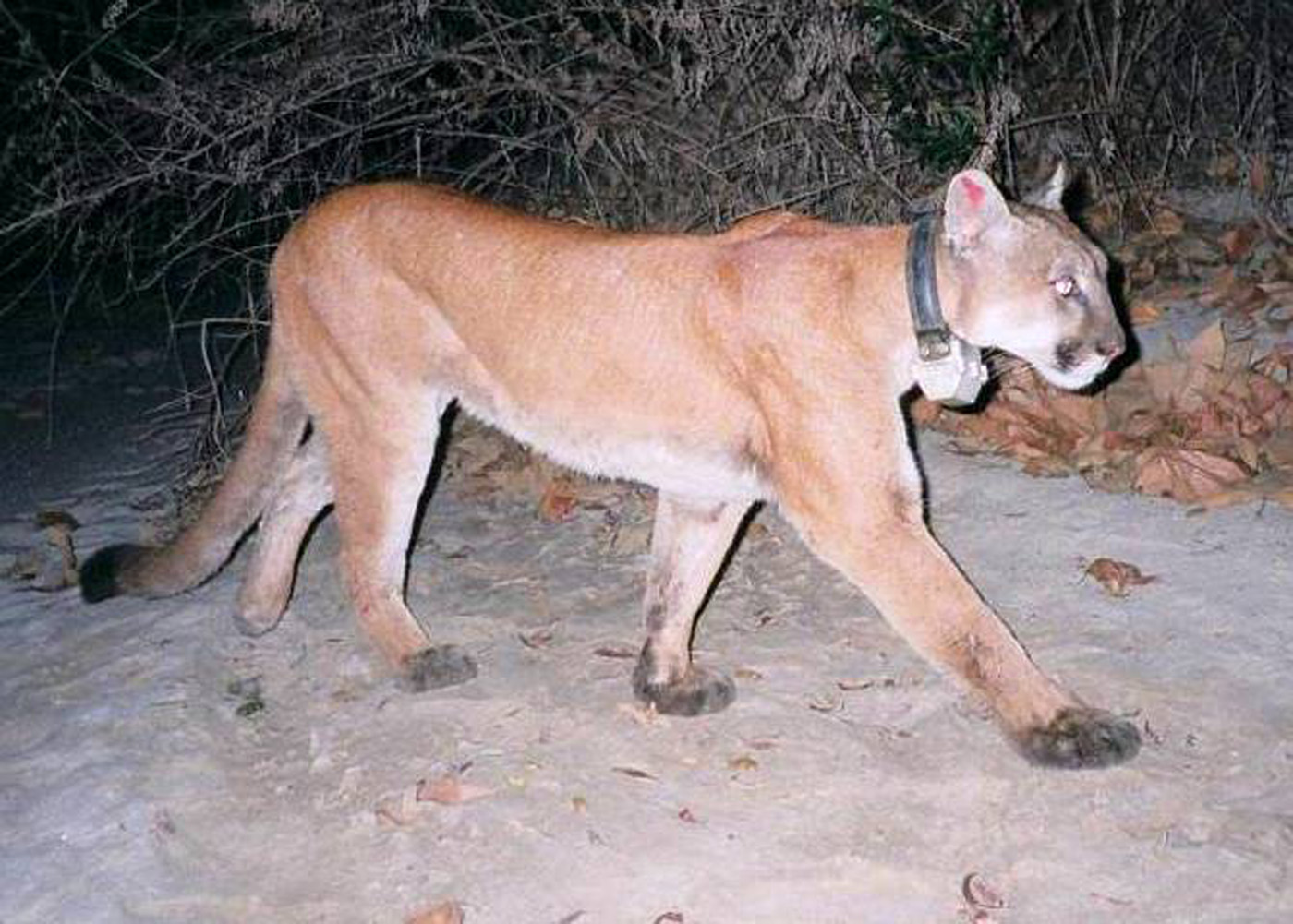 World Record Elk Freed Then Found Dead Mountain Lion
