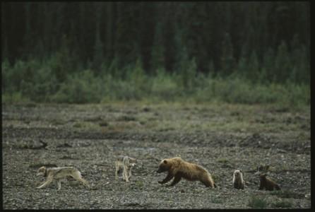 Wolf Hunting Montana Hunting And Fishing