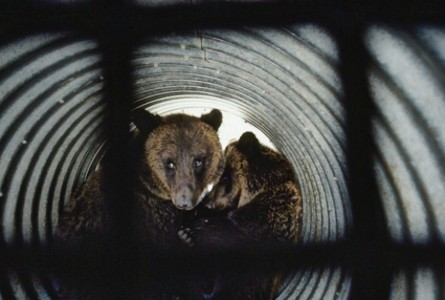 Grizzly-in-trap-photo-thumb-425x286