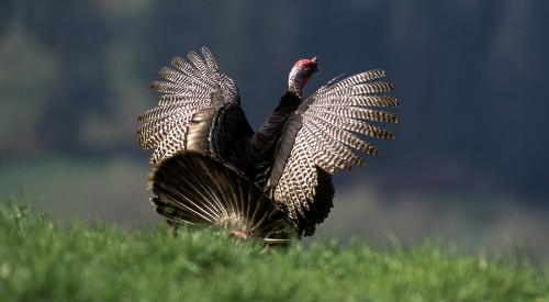 NWTF-turkey-06-Contest-1
