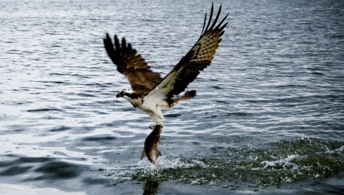 Osprey_Catching_Fish_by_untitledphotographer