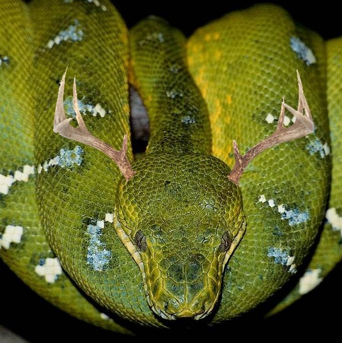 boa constrictor with photoshopped antlers snake is now a snakealope