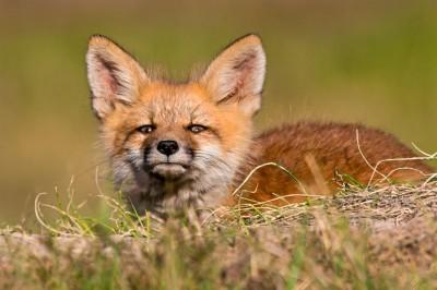 mesenko fox