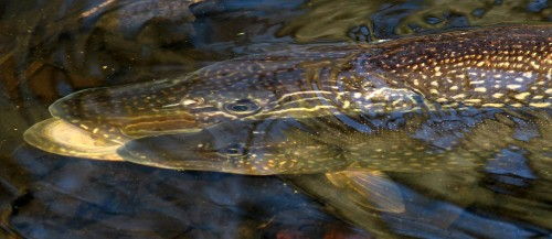 northern_pike_4