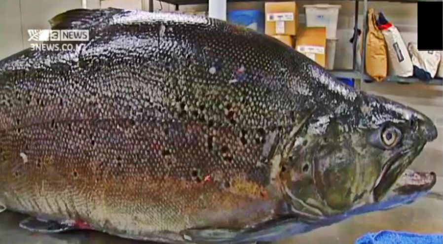 largest brown trout ever caught in new zealand weighed 42 electrical plan symbols new zealand
