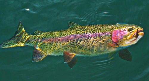 BeFunky_rainbow-trout-350574.jpg