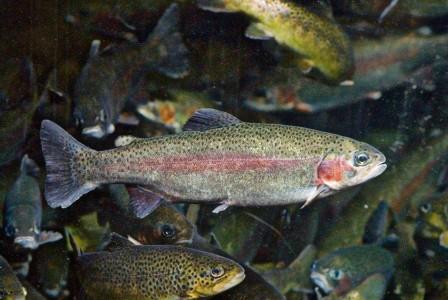 BeFunky_rainbow-trout.jpg