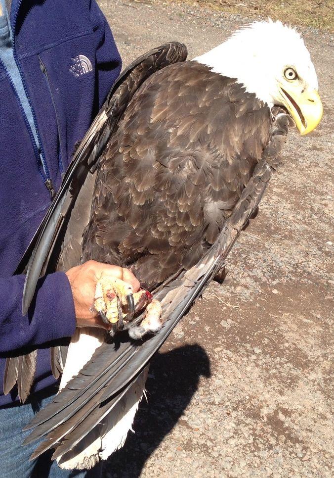 Injured-eagle-