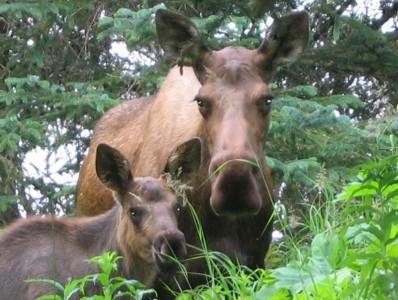 moose-calf