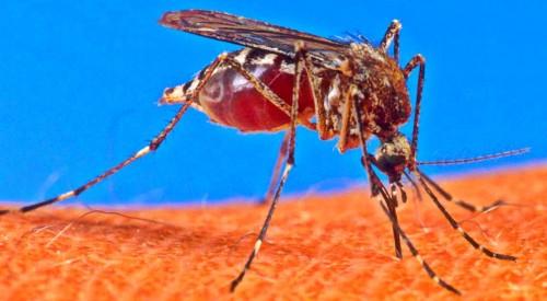mosquito_65147_7
