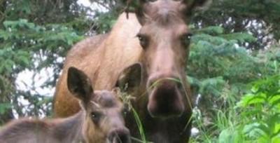 Blue Mountain Moose