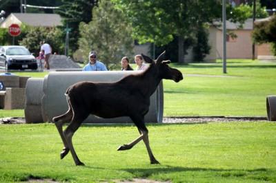 Bozeman Moose