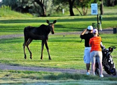 Great Falls Moose