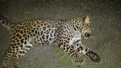 Leopard-shot-and-killed-in-Indiana-couples-backyard