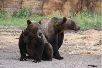 lethbridge-grizzly-bears
