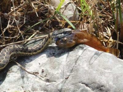 snake_eats_fish (1)